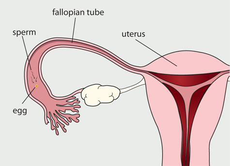 what is the purpose of the fallopian tubes? - animal care, Human body